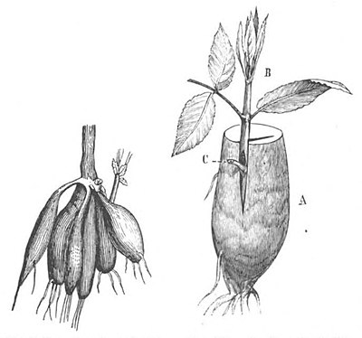 Baltet - L'art de greffer - fig185.jpg