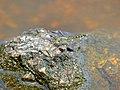 Banded Groundling (Brachythemis leucosticta) female (13584891235).jpg
