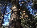 Barbary macaque near Azrou.JPG