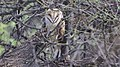 Barn Owl - BANWR - Sasabe - AZ - 2015-10-06at14-06-412 (22067565999).jpg