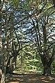 Barook, chouf, forest.jpg