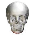Base of mandible - skull - anterior view01.png