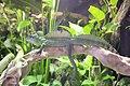 Basiliscus 4.jpg