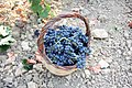 Basket of freshly harvested grapes.jpg