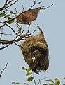 Baya Weaver Ploceus philippinus by Dr. Raju Kasambe DSCN4592 (1).jpg