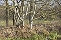 Beau tronc de Frêne - 6194.jpg
