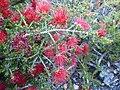 Beaufortia cyrtodonta (leaves, flowers).JPG