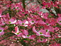 Beautiful-flowers-pink-dogwood - West Virginia - ForestWander.jpg