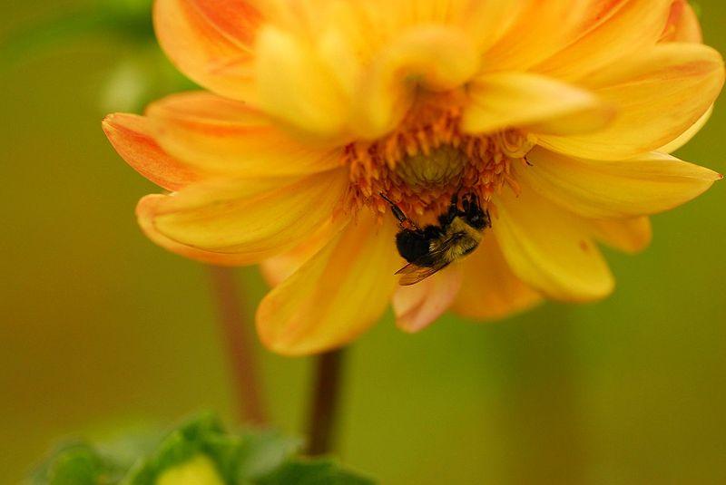 File:Bee flower - Flickr - Andrea Westmoreland.jpg