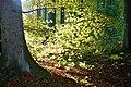 Beech-tree -.jpg