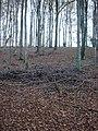 Beech trees in Stonedown Wood - geograph.org.uk - 281178.jpg