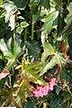 Begonia Mme. de Lesseps 2zz.jpg