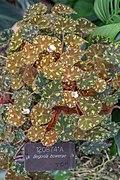 Begonia bowerae NBG.jpg