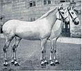 Belca iz Lipice na Krasu, dar avstrijskega cesarja italijanski kraljici 1911.jpg