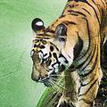 Bengal Tiger at Nandankanan Odisha.jpg