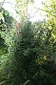 Berberis julianae Spring Glory 2zz.jpg
