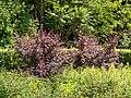 Berberis thunbegrii 'Atropurpurea'. Locatie, Tuinen Mien Ruys;01.jpg