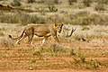 Berger+Team-Safari-Löwe.jpg