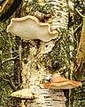 Berkenzwammen (Piptoporus betulinus) (d.j.b.) 01.jpg
