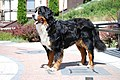 Bernese Mountain DOg.jpg