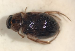<i>Berosus sayi</i> Species of beetle