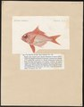 Beryx delphini - 1817-1841 - Print - Iconographia Zoologica - Special Collections University of Amsterdam - UBA01 IZ12900027.tif