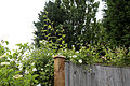 Betts Lane rose and fence at Nazeing, Essex, England.JPG