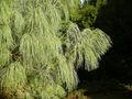 Bhutan pine foliage.JPG
