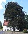 Bielefeld - Blutbuche vor dem Spiegelshof.jpg