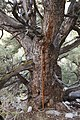 Big pinyon measure.jpg