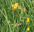 Bird's-foot-trefoil (Lotus corniculatus) - geograph.org.uk - 496784.jpg