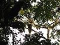 Bird Great Hornbill Buceros bicornis IMG 8659 21.jpg