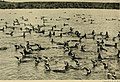 Bird lore (1918) (14775093653).jpg