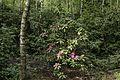 Birken Rhododendron-Wald Venner Moor MG 2342.jpg