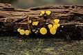 Bisporella citrina (45154990492).jpg