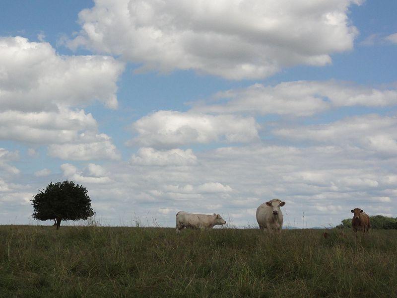 Blémerey (M-et-M) paysage avec vaches