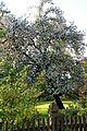 Blühender Walnussbaum.jpg