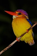 Black-backed Kingfisher (Ceyx erithacus) (8066957489) (cropped).jpg