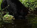 Black-bear-fishing-pond - West Virginia - ForestWander.jpg