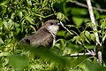 Black-billed Cuckoo Smith Oaks High Island TX 2018-04-15 10-09-55 (41903481752).jpg