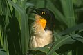 Black-capped Donacabius (Donacobius atricapilla) (8077673467).jpg
