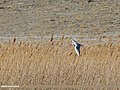 Black-headed Gull (Chroicocephalus ridibundus) (31285892164).jpg