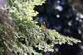 Black-headed grosbeak (48113974602).jpg