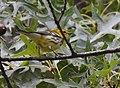 Black-throated Green Warbler (30268248257).jpg
