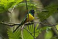 Black-throated Trogon - Sarapiqui - Costa Rica S4E0882 (26074307243).jpg