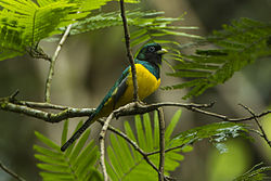 Black-throated Trogon - Sarapiqui - Costa Rica S4E0882 (26074307243).jpg