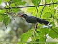 Black Bulbul (Hypsipetes leucocephalus) (25737216458).jpg