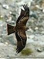 Black Kite (Milvus migrans) (23162800633).jpg