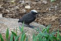 Black Noddy (32092937392).jpg