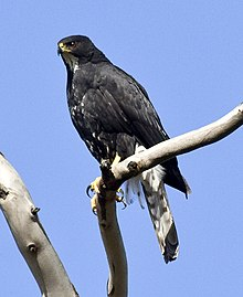 Black Sparrowhawk black morph 3 x.jpg